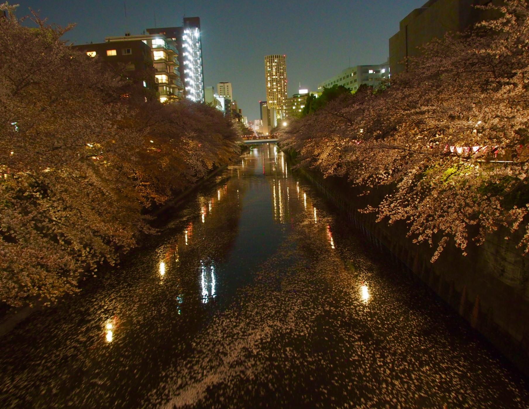 目黒川_夜桜5