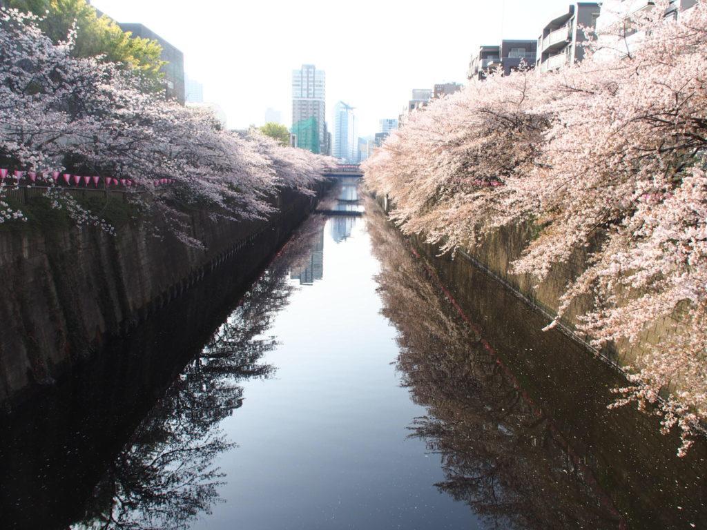 目黒川_桜7.