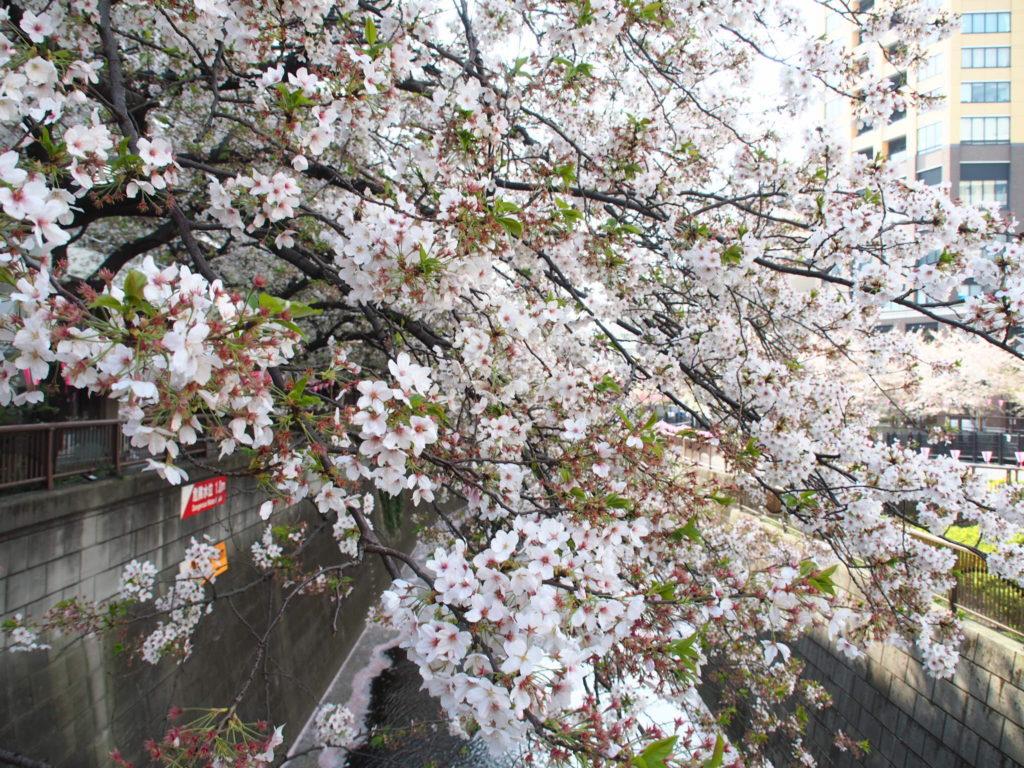 目黒川_桜9